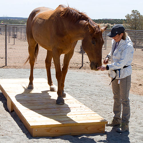 Horse being trained on a teeter totter by Shawna Karrasch, Positive Reinforcement Trainer and Behaviorist at Terra Nova Equestrian Training Center in Santa Fe, NM